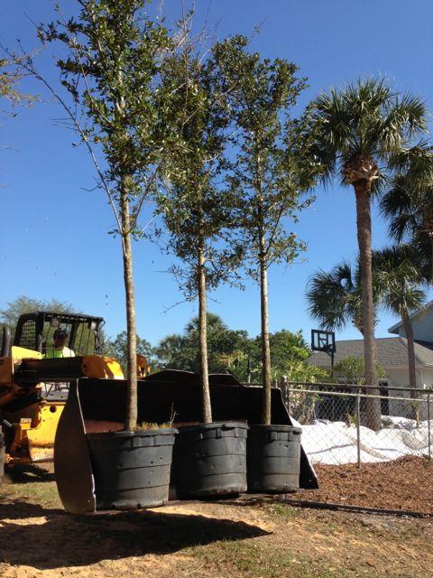 Orlando landscape crew with Live Oaks
