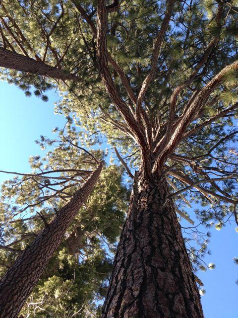 Lake Tahoe pine trees