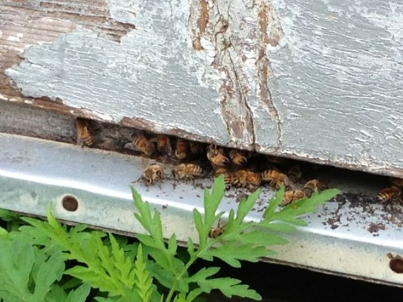 Orange Grove bees entering bee hives