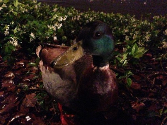 close up of Duck on land at night