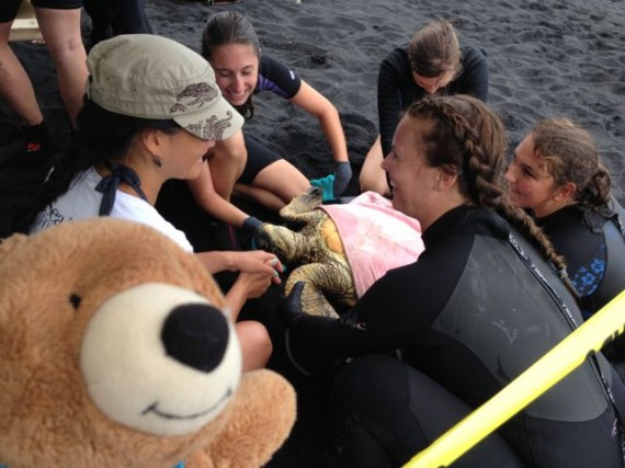 Marine Biologists and teddy bear helping Hawaiian Green Sea Turtle