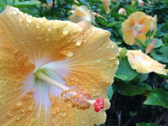 Hibiscus in Hawaii