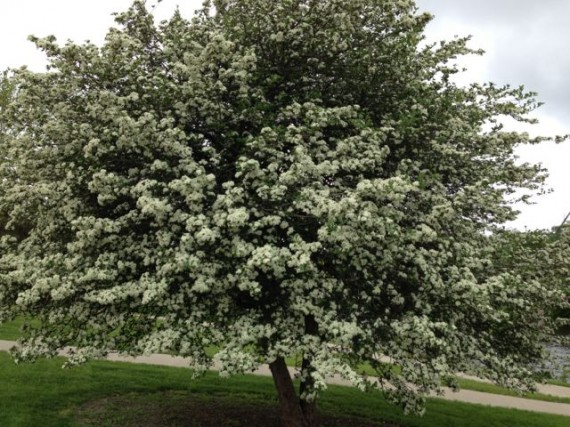 Iowa tree in full white bloom