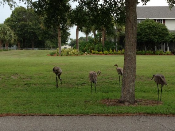 Four Florida Sand Hill Cranes in front yard