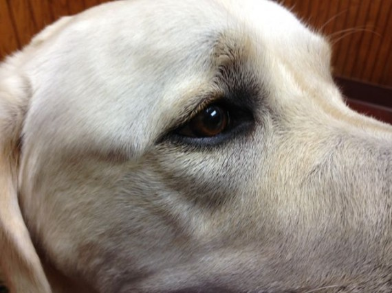 Close up photo of lab's face