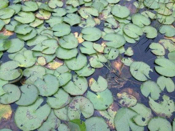 Florida Lake Lilly pads