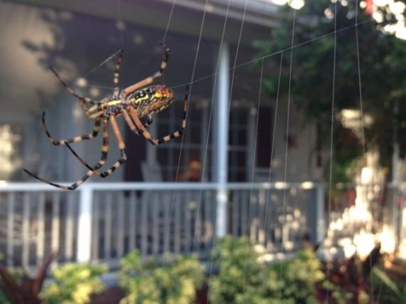 Florida garden spider