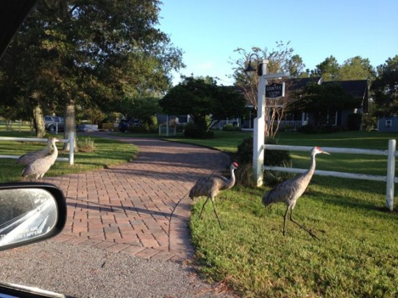 Sand Hill Cranes in homeowner yard