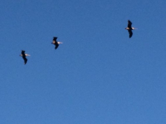 Three pelicans flying through the sky