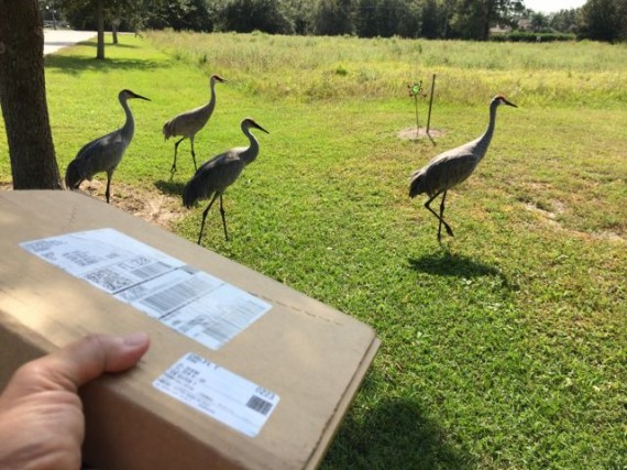 Mid Life Celebration book delivery and Sand Hill Cranes in background