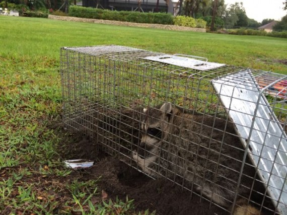 Young raccoon in live trap
