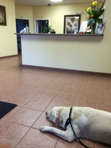 White Lab at Florida emergency vet lobby