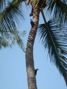 Woodpeckers on Sanibel Island Coconut Palm tree