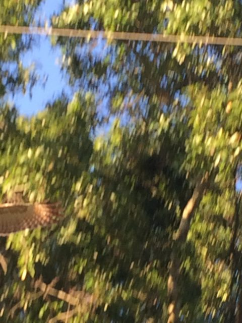 Hawk taking flight from Florida Oak tree