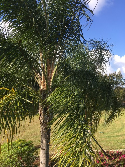 Florida palm tree trimming
