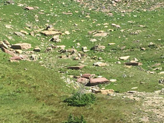 Big Horn Sheep at Logan Pass