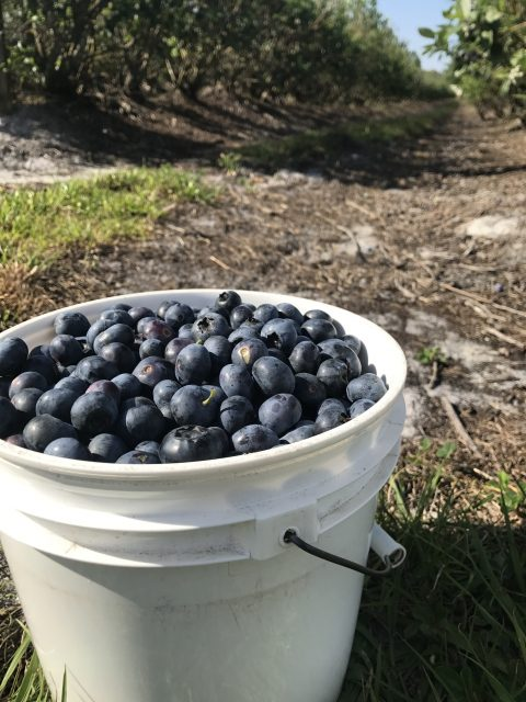 Bucket of blueberries