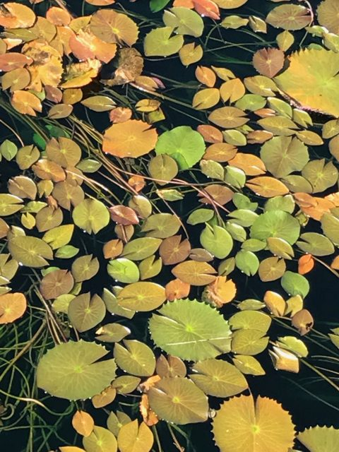 Florida lily pads