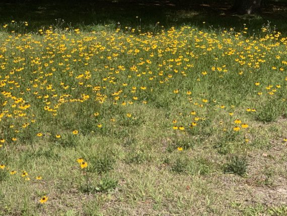 Black-Eyed Susan backyard meadow