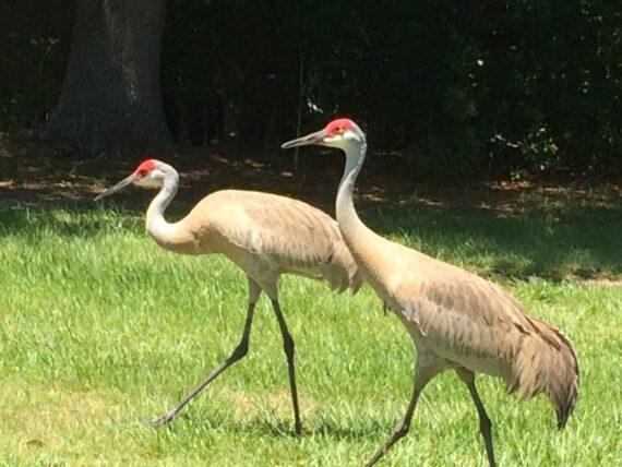 two sad hill cranes