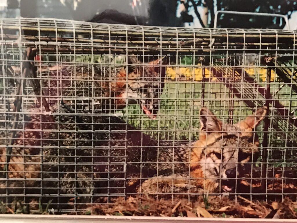 photo of two foxes in cages